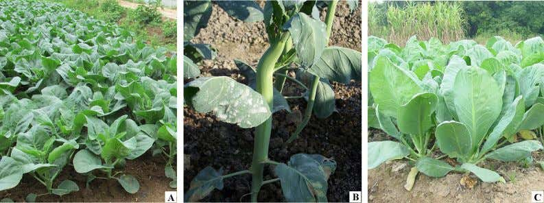 the main stalk has been harvested. It can be harvested for Fig. 2 Chinese kale types