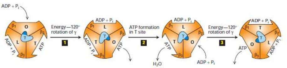 used by cells to capture and transfer energy ATP production Figure 2.3 The binding-change mechanism of