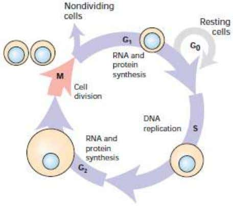 Figure 2.4 During growth, eukaryotic cells continually progress through the four stages of the cell