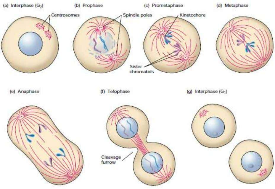 See text for further discussion 2.3.1. Cell division Figure 2.6 The stages of mitosis and cytokinesis