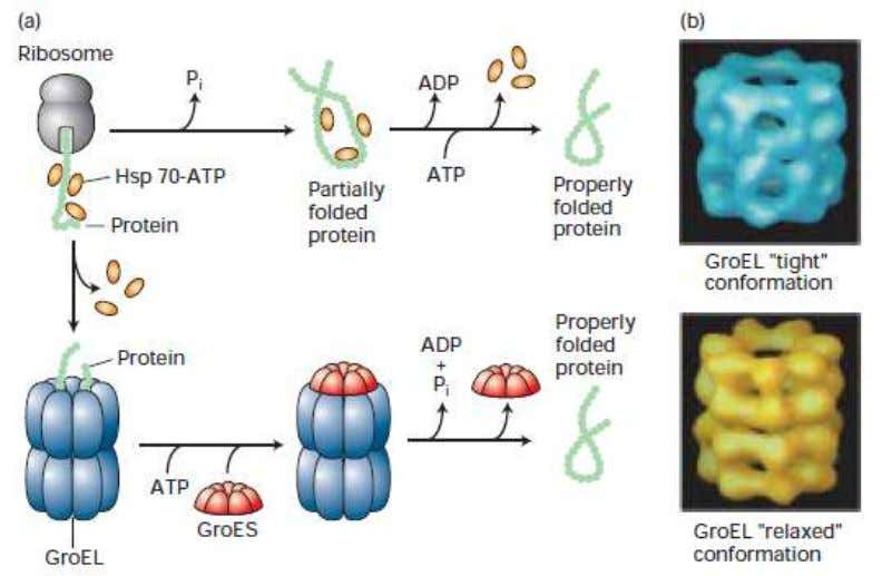 Figure 3.2 Chaperone- and chaperonin-mediated protein folding (a) Many proteins fold into their proper three