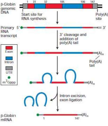Figure 3.6 Overview of RNA processing to produce functional mRNA in eukaryotes Figure 3.7 The