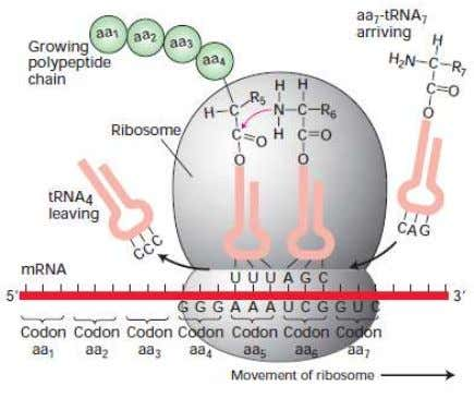 of RNA processing to produce functional mRNA in eukaryotes Figure 3.7 The three roles of RNA