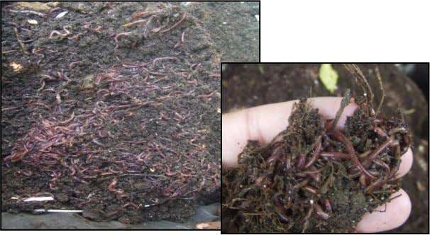 2.3. The trial experience in Egypt 2.3. 1. Earthworm types used: Four types of earthworms were