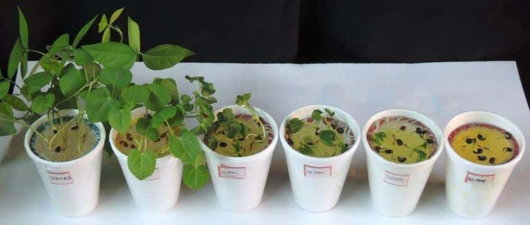 by chromium+6 toxicity to Cucumis sativus L. and …… Fig. 1: 21 days old Macrotyloma uniflorum
