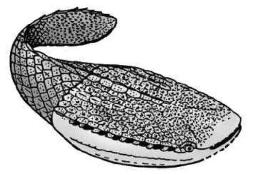 Ostracodermii, agnate primitive 480-359m.a