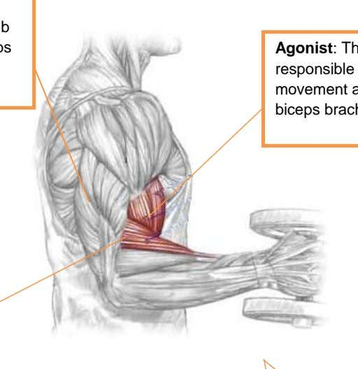 a limb to its initial position, e.g. triceps brachii Agonist : The muscle/s primarily responsible for