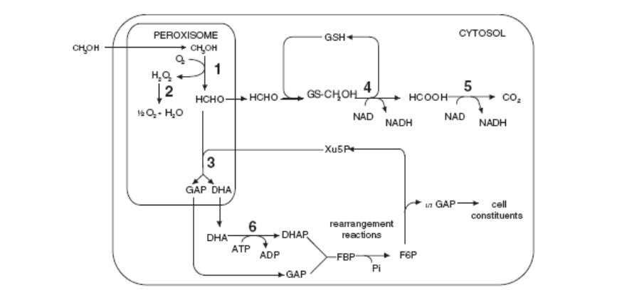 It oxidizes methanol to formaldehyde and hydrogen peroxide. Figure. 1. Methanol metabolism pathway in methylotrophic