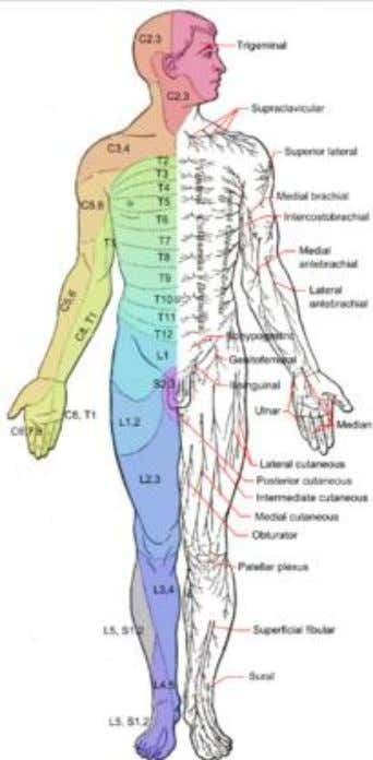 pack as a warm sensation or won't recognize it at all! Spinal segments correlate with dermatomes!