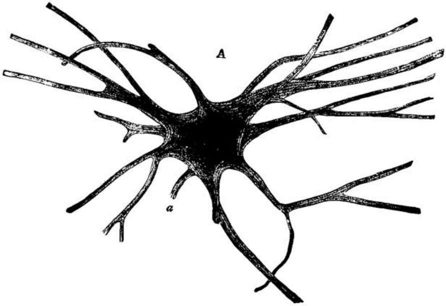 to show the minute structure. (Schäfer's Histology .) Fig. 5. A large nerve-cell from the spinal