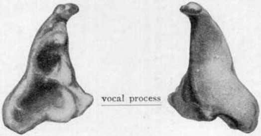 with the thyroid below and the arytenoid cartilage above. Fig. 24 (Spalteholz). Shows the arytenoid cartilages,