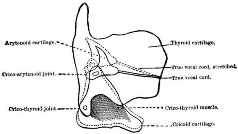 lower surface or angle ( vocal process ) of the arytenoid. Fig. 30 (Chapman). Diagram showing