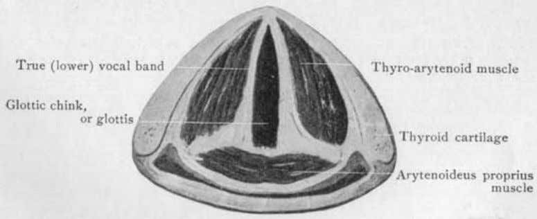 lowest on the page represents the back part of the larynx. Fig. 32 (Spalteholz). A cross-section