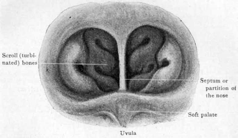 a pair of folds between which the tonsil is seen to lie. Fig. 48. View of