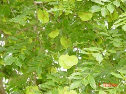 leaf. Leaves are shed during the dry season (FIPI, 1996). Flowering and Fruiting Habit: Small, yellow,