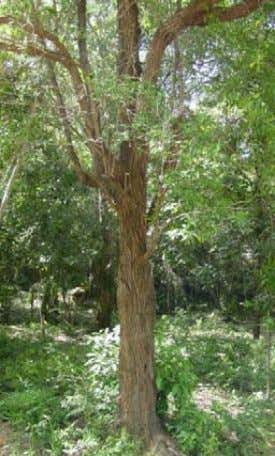 : Ta trao : Fagraea fragrans Pit : Loganiaceae : Luxury This tree often produces Distribution