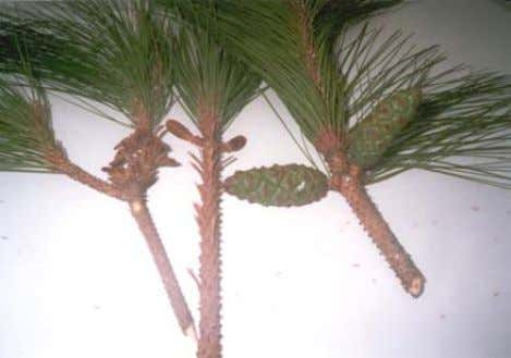 Fruit and Seed Description: The fruit is a cylindrical cone, 5-10 cm long and 2-4cm