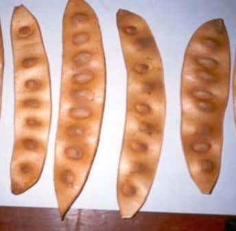 Fruit and Seed Description: Fruit pods are indehiscent, pale straw to light brown (at maturity),