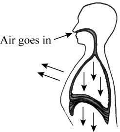 2. Diagram 2 shows the process of inhalation in the human breathing mechanism. Diagram 2 (a)