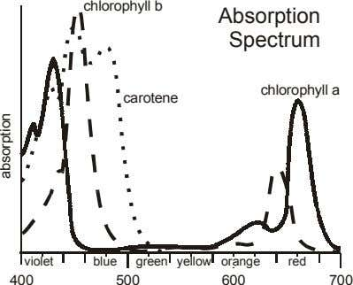 chlorophyll b Absorption Spectrum chlorophyll a carotene violet blue green yellow orange red 400 500