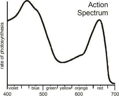 Action Spectrum violet blue green yellow orange red 400 500 600 700 rate of photosynthesis
