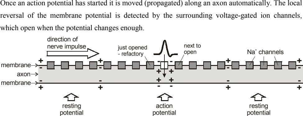 Once an action potential has started it is moved (propagated) along an axon automatically. The