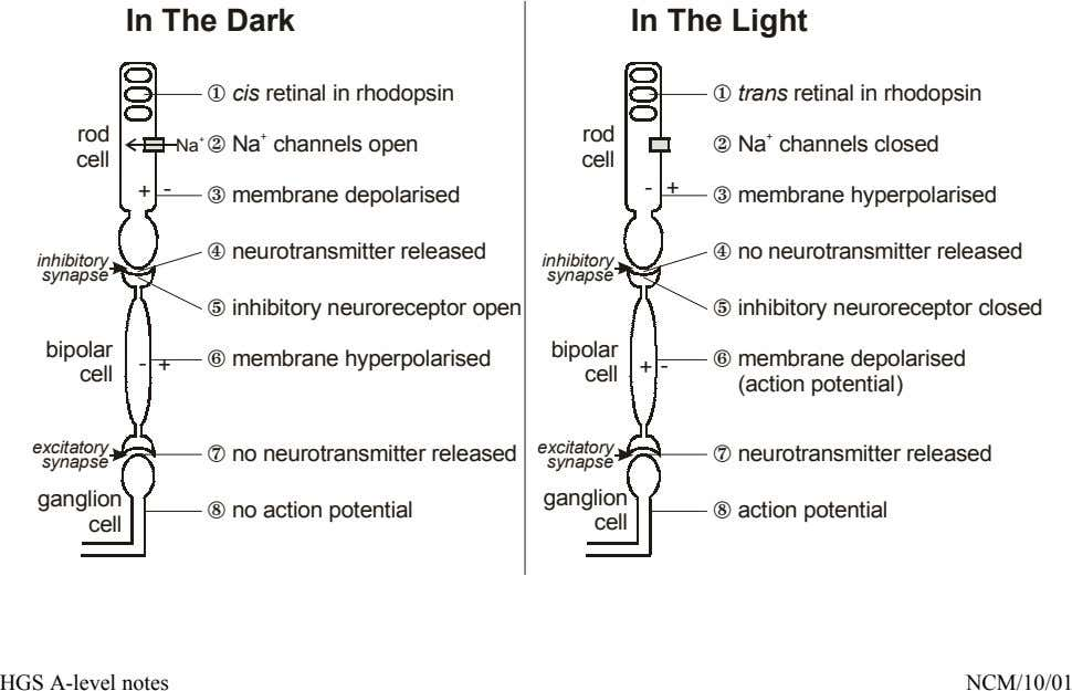 In The Dark In The Light cis retinal in rhodopsin trans retinal in rhodopsin rod