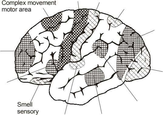 Complex movement motor area Smell sensory