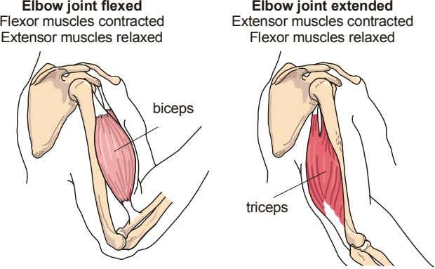 Elbow joint flexed Flexor muscles contracted Extensor muscles relaxed Elbow joint extended Extensor muscles contracted