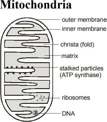 Mitochondria outer membrane inner membrane christa (fold) matrix stalked particles (ATP synthase) ribosomes DNA