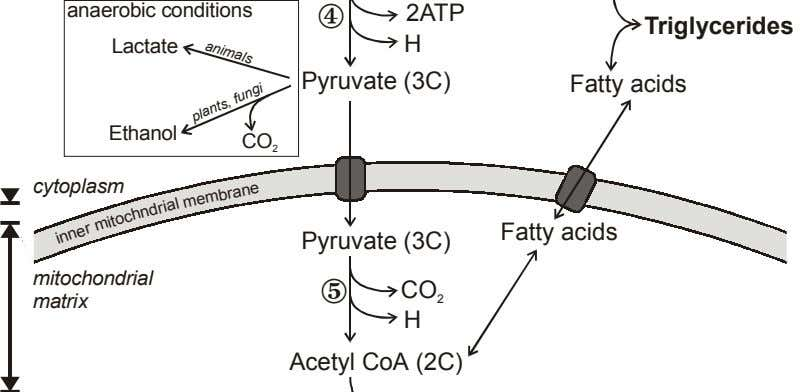 animals anaerobic conditions 2ATP Triglycerides Lactate H Pyruvate (3C) Fatty acids Ethanol CO 2 cytoplasm