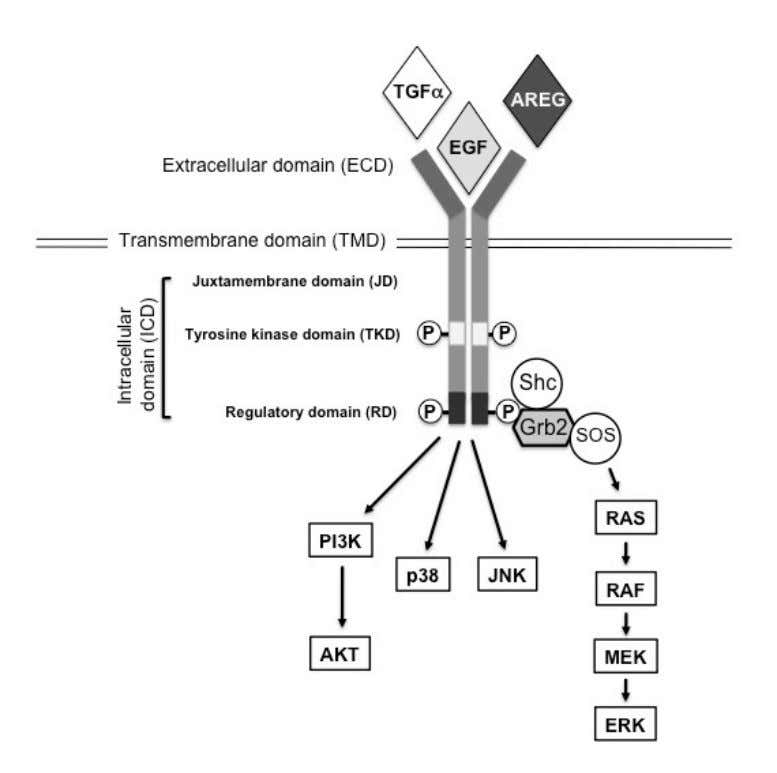 Figure 1.2 The structure and signaling of EGFR. EGFR consists of an extracellular domain (ECD), a