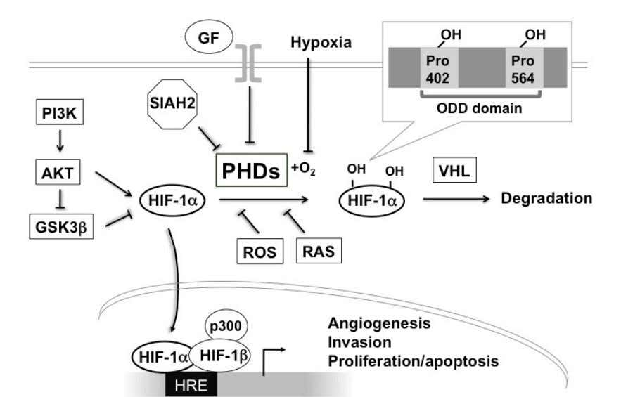 Figure 1.4 The diagram illustrates the regulation of HIF-1 α . HIF-1 α is mainly regulated