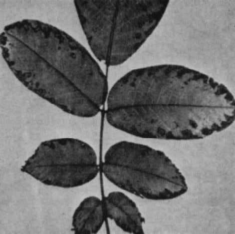 every 2 or 3 months, they have been relatively successful. Figure 1.—Injury to a walnut leaf