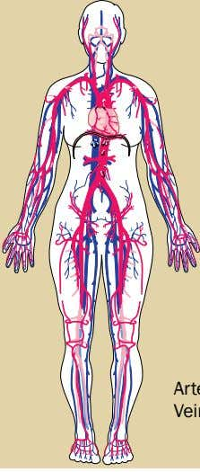 Vena Cava Pulmonary Artery Left Atrium Right Atrium Left Ventricle Right Ventricle Arteries: red Veins: blue