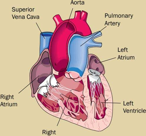 Aorta Superior Vena Cava Pulmonary Artery Left Atrium Right Atrium Left Ventricle Right