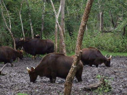 . A mineral lick (also known as a salt lick ) is a place Gaur at