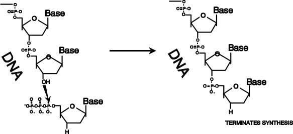DNA polymerase, only RNA reve rse transcriptase action. AZT (azidothymidine), DDI (dideoxyinosine) and DDC