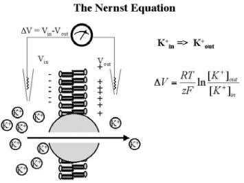 across a membrane, and is predicted by the Nernst Equation Action potential= the membrane potential changes
