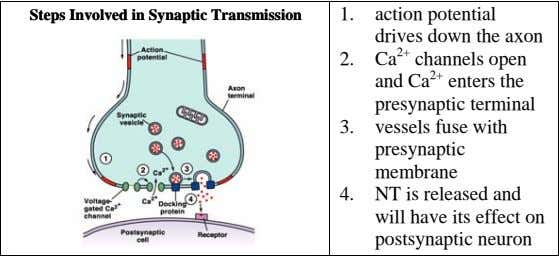 StepsSteps InvolvedInvolved inin SynapticSynaptic TransTransmmiissionssion 1. action potential drives down the axon 2.