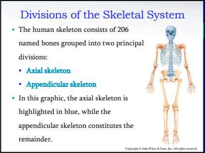 Divisions of the Skeletal System • The human skeleton consists of 206 named bones grouped
