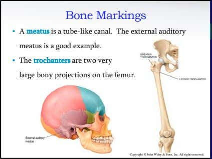 Bone Markings • A meatus is a tube-like canal. The external auditory meatus is a