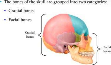 • The bones of the skull are grouped into two categories:  Cranial bones 