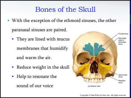 Bones of the Skull • With the exception of the ethmoid sinuses, the other paranasal