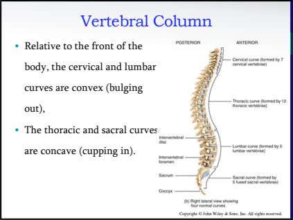 Vertebral Column • Relative to the front of the body, the cervical and lumbar curves