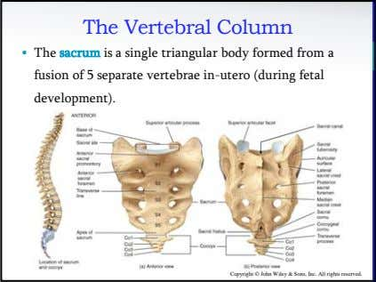 The Vertebral Column • The sacrum is a single triangular body formed from a fusion