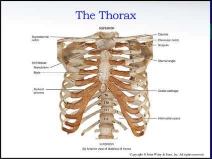 The Thorax Copyright © John Wiley & Sons, Inc. All rights reserved.
