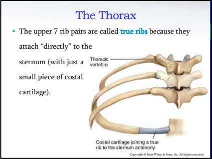 The Thorax • The upper 7 rib pairs are called true ribs because they attach