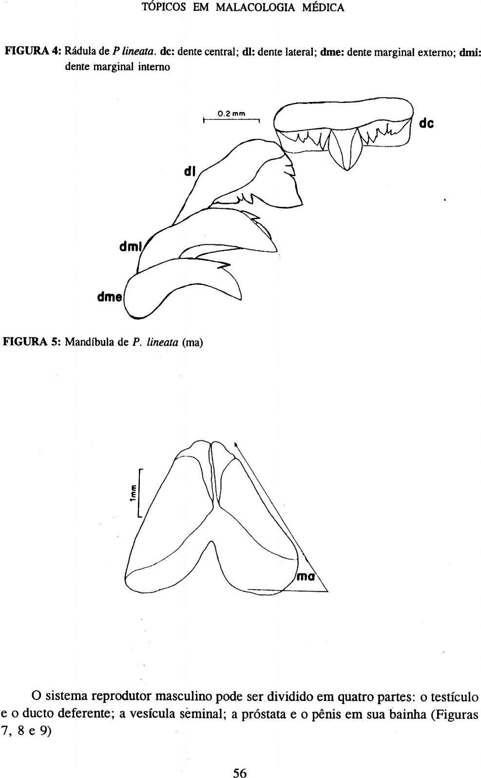 FIGURA 4: Rádula de P lineata. de: dente central; dl: dente lateral; dme: dente marginal