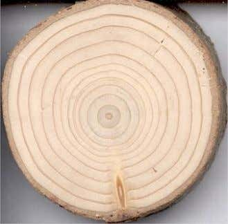 extra wood to protect the tree giving a lump or ʻ burl ' , or may